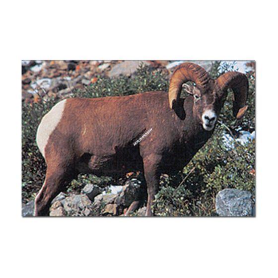 Delta Mckenzie Target Face - Bighorn Sheep
